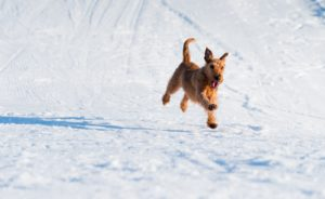 Foster Dog Running in Snow